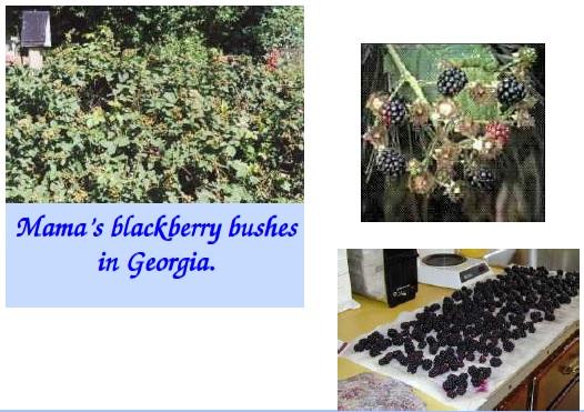 blackberry bushes of mama