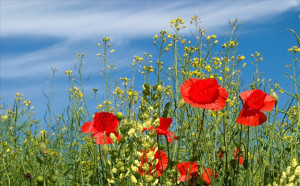 cropped-springtime-poppies-landscape-1443978-1620x1080