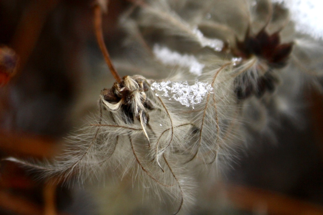 Clematis seed