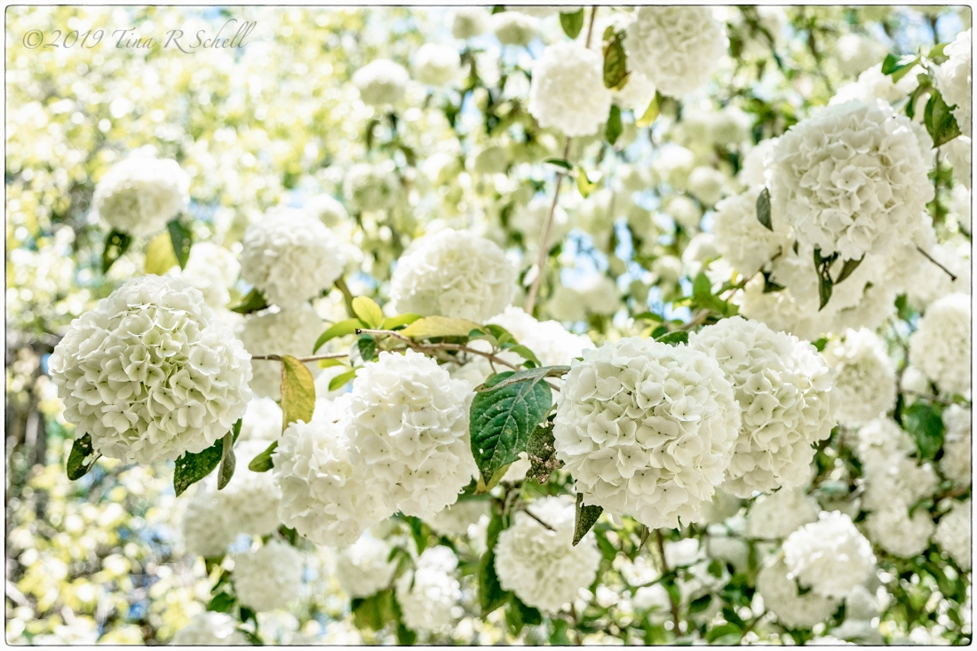 Many white hydrangeas